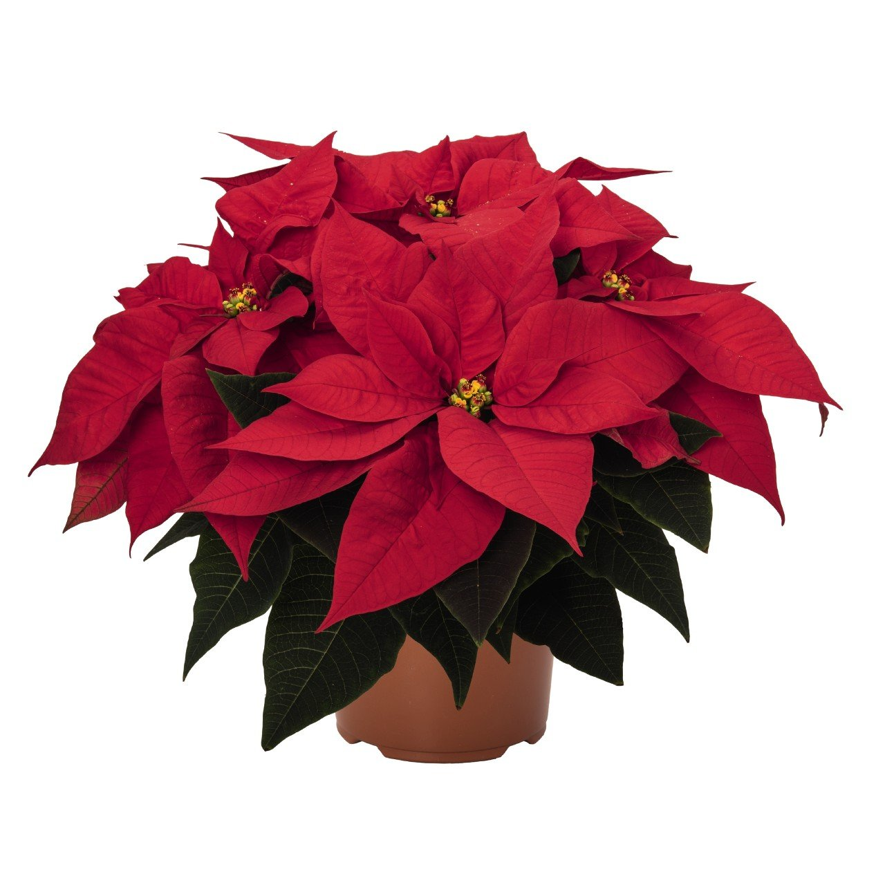 Burning Ember poinsettia Christmas holiday flower