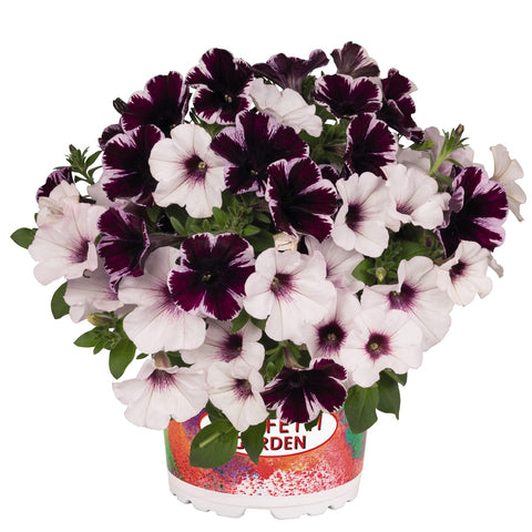 Confetti® Marvelous Orchid Hanging Baskets