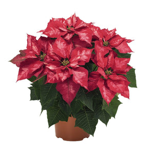 Ice Punch Poinsettia Christmas Holiday Flower