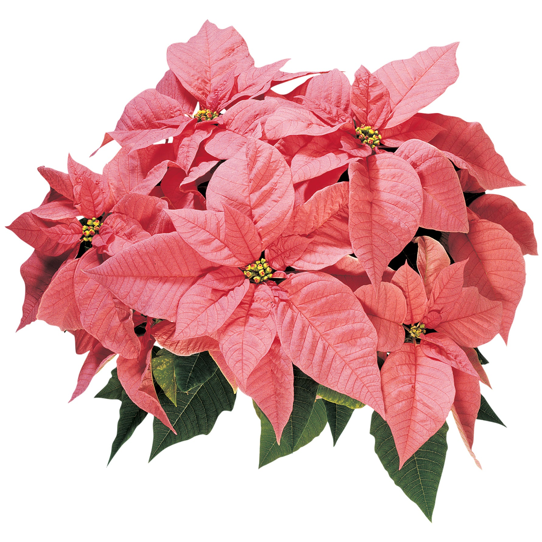 Maren Pink Poinsettia Christmas Holiday Flower
