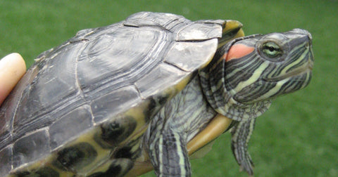 tortue a oreille rouge