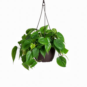 "Load image into Gallery viewer, 10"" Philodendron Cordatum"