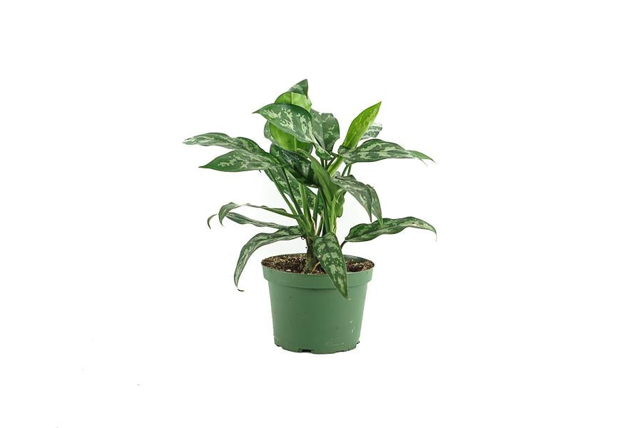 Chinese Evergreen- Aglaonema Maria