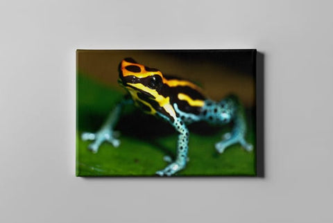 Multi Color Frog