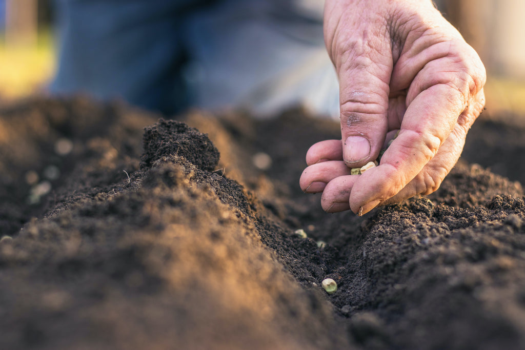 Organic hemp seeds being planted by hand for CBD oil