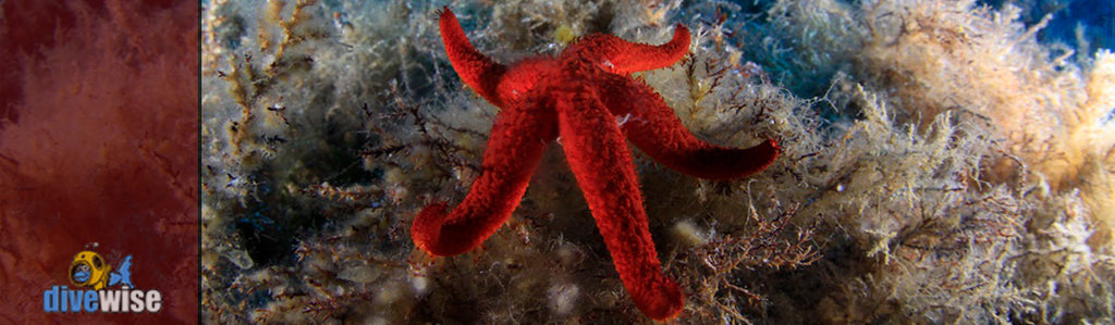 Mediterranean Red Star Fish