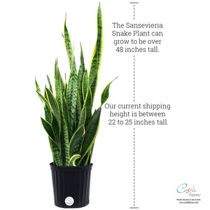 Costa Farms Snake Plant, Sansevieria laurentii, Live Indoor Plant, 2 to 3-Feet Tall, Ships in Grow Pot, Fresh From Our Farm, Excellent Gift New Version Available