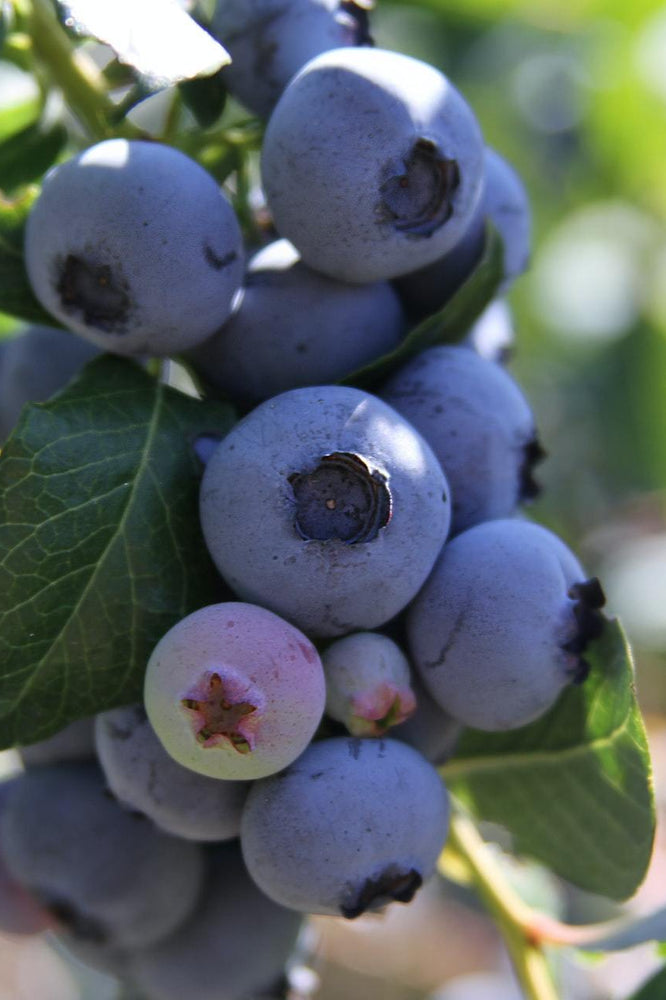 Load image into Gallery viewer, Wild Blueberry Balsamic Vinegar