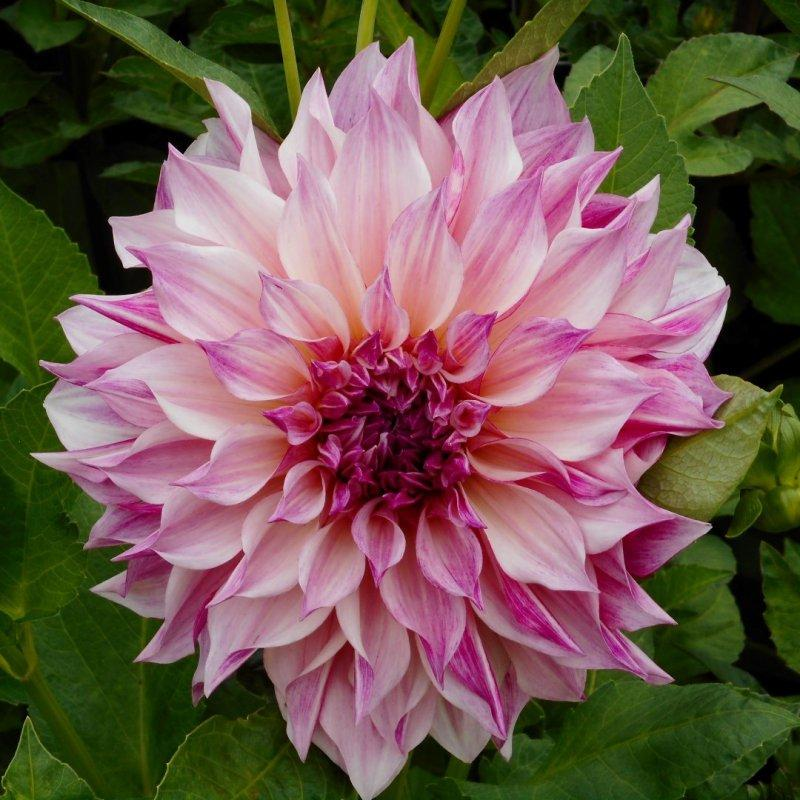 DAHLIA ' Café au Lait Royal ' - Envois Février 2021 - E-Shop - By Mudstories.fr