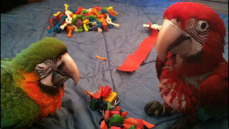 Green Parrot Superstore | Hand Raised Baby Parrots in
