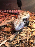 Merauke Blue-Tongued Skink
