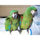 Severe Macaws