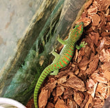 High Red Crimson Giant Day Gecko - (CB)
