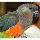 African Red-Bellied Parrot