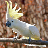 Eleanora Cockatoo or Medium Sulfur Crested