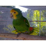 Bonaire Yellow Shouldered Amazon at Tropical Wings Parrot Place