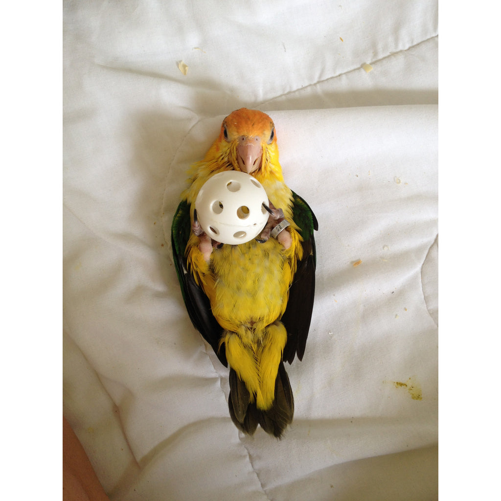 White Bellied Caique Green Parrot Superstore