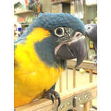 Blue Throat Macaw