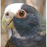 White Capped Pionus