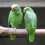 Yellow Crowned or Yellow Fronted Amazon