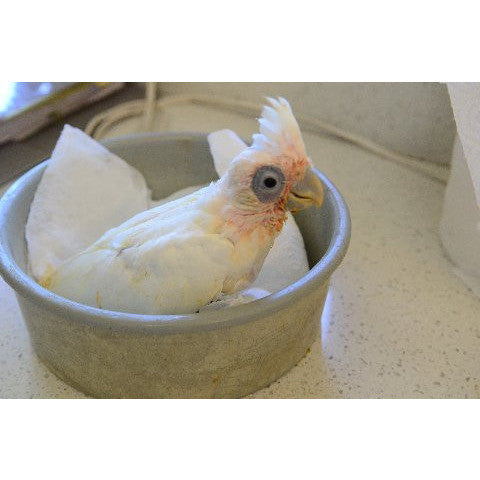 Bare Eyed baby available at Tropical Wings Parrot Place