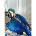 Blue and Gold Macaw baby at Tropical Wings Parrot Place