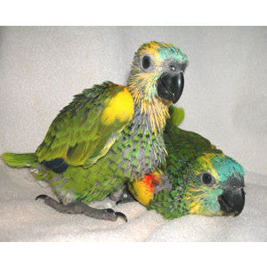 Blue Front Amazon Parrots For Sale In Michigan Green Parrot