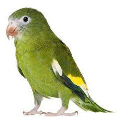 Bebe Parakeet or Canary Winged Parakeet