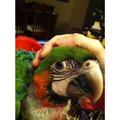 Harlequin Macaw hand raised at Tropical Wings Parrot Place