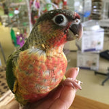 Yellow Sided Green Cheek Conure