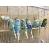 American Parakeets and English Budgies