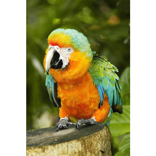 Sunset Macaw available at Tropical Wings Parrot Place