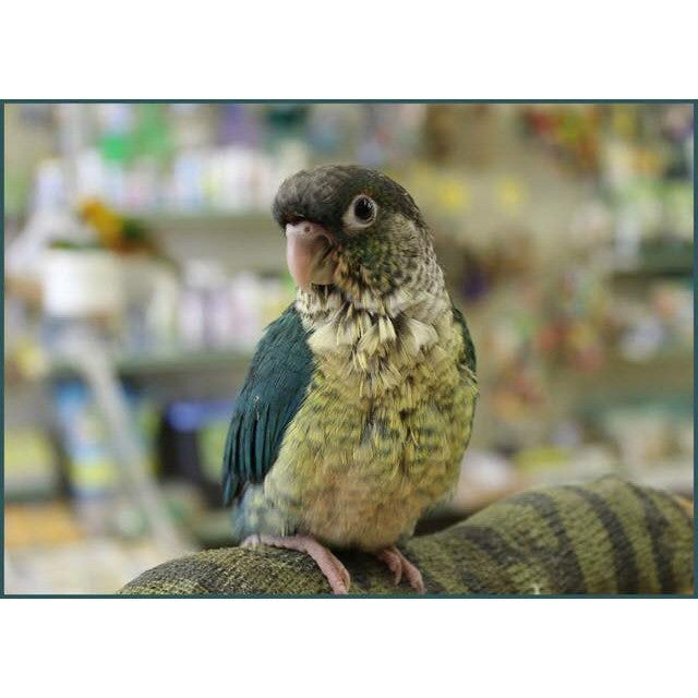 Turquoise Yellow-sided Green Cheek Conure