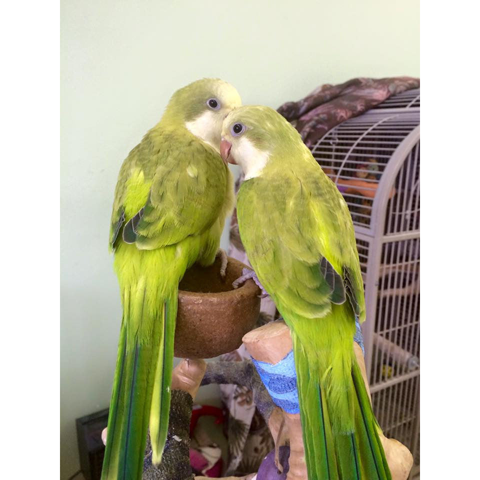 Yellow Sided Quaker Green Parrot Superstore