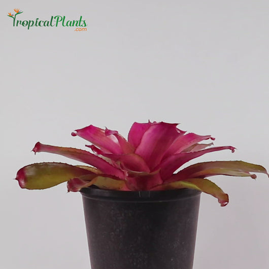 Tropical Plant Shocking Pink Bromeliad Neoregelia Video in pot zoom straight