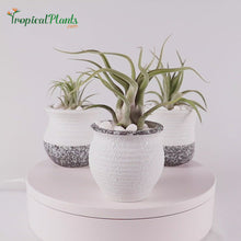 Load and play video in Gallery viewer, Tropical Plant  Air Plant Tillandsia White Gray Ceramic Pots Set 2 Video