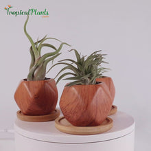 Load and play video in Gallery viewer, Tropical Plants Tillandsia Air Plant Wood Geometric Pots VIDEO