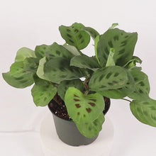 Load and play video in Gallery viewer, Green Prayer Plant (Maranta Calathea)