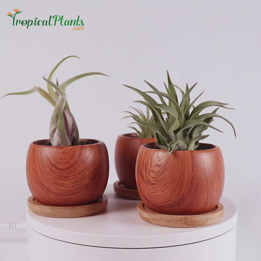 Tropical Plants Tillandsia Airplant Wood Round Pots Video