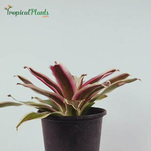 Tropical Plant Raphael Bromeliad Neoregelia Video with straight on view in pot