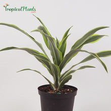 Load and play video in Gallery viewer, Lemon Lime Dracaena