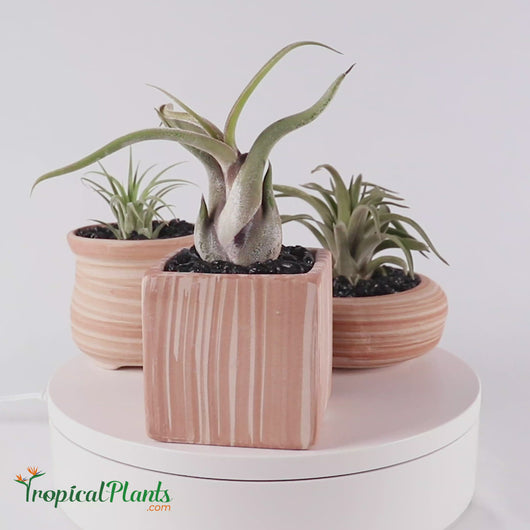 Tropical Plant Tillandsia Air Plant Weathered Pots1 VIDEO