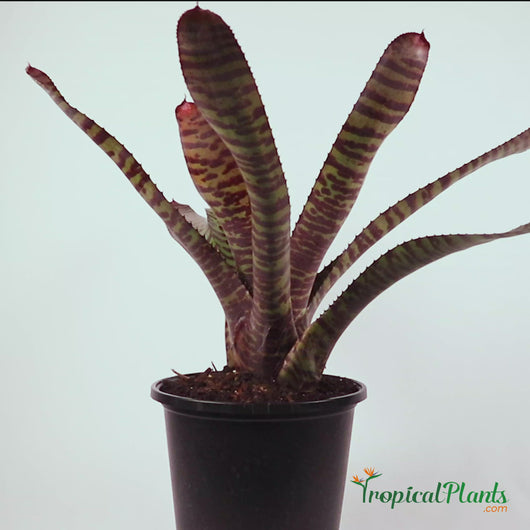 Tropical Plant Hannibal Lecter Bromeliad Neoregelia Video in pot straight on angle