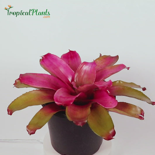 Tropical Plant Shocking Pink Bromeliad Neoregelia Video at 45 degree