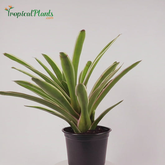Tropical Plant Sheba Bromeliad Neoregelia in black contemporary pot 45 straight on