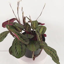 Load and play video in Gallery viewer, Red Prayer Plant (Maranta Calathea)