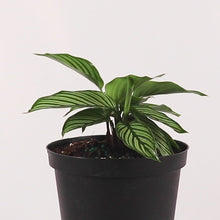 Load and play video in Gallery viewer, Vittata Calathea