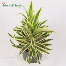 Load and play video in Gallery viewer, Song of India Dracaena