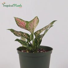 Load and play video in Gallery viewer, Chinese Evergreen (Aglaonema Wishes)