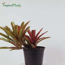 Load and play video in Gallery viewer, Tropical Plant Fireball Bromeliad  Neoregelia Video straight on view